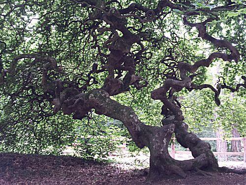 Een van de kreukelbomen