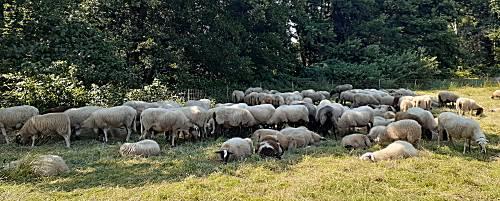 De schapen bij Orvelte