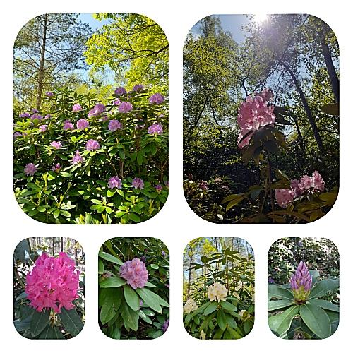 rododendron bloemen