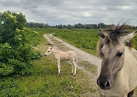 Paarden oostvaardersplassen