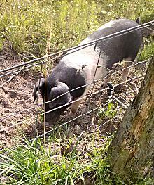 Een varken op verkenning