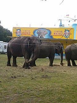 Olifant bij het circus