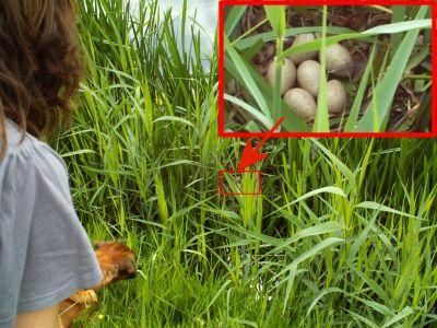 Eieren in het riet