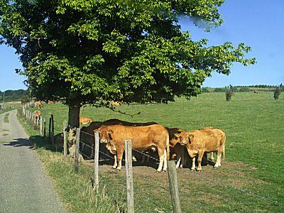Koeien onderweg